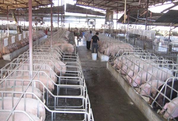 Nhiệt độ chuồng trại quyết định nâng suất chăn nuôi
