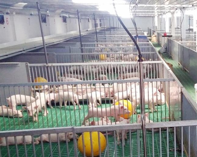 Nhiệt độ chuồng trại quyết định năng suất chăn nuôi